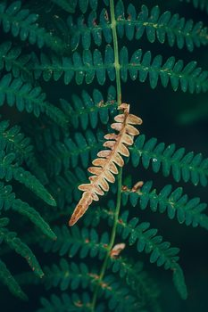 Kunstfotografi One dry fern blade