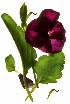 Pansy Purple, 2014, Obrazová reprodukcia