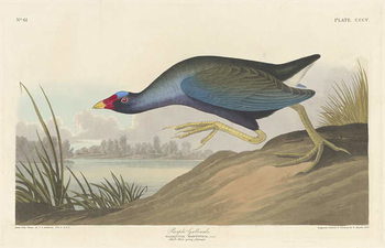 Purple gallinule, 1836 Kunstdruk