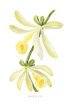 Ilustración Watercolor vanilla orchid illustration