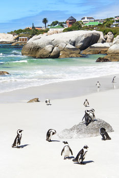 Kunstfotografi African Penguins at Boulders Beach