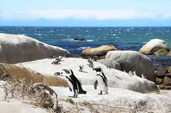Umělecká fotografie  African Penguins