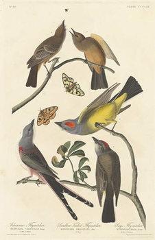Reprodukcja Arkansaw Flycatcher, Swallow-tailed Flycatcher and Says Flycatcher