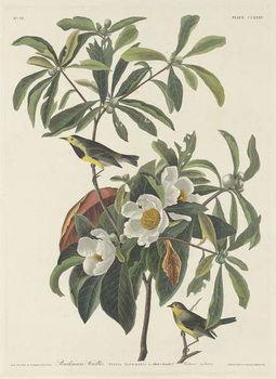 Obrazová reprodukce Bachman's Warbler, 1834