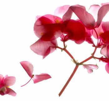 Artă imprimată Begonia Pink VII