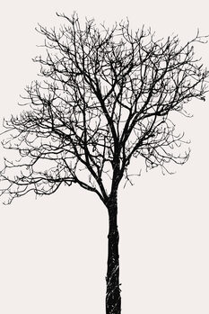 Illustration Black Birch