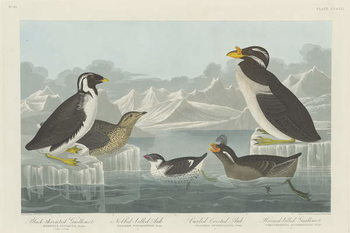 Reproducción de arte  Black-throated Guillemot, Nobbed-billed Auk, Curled-Crested Auk and Horned-billed Guillemot1838