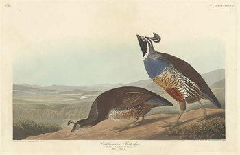 Reproducción de arte  Californian Partridge, 1838