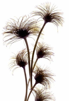 Konsttryck Clematis Buds, 2010,