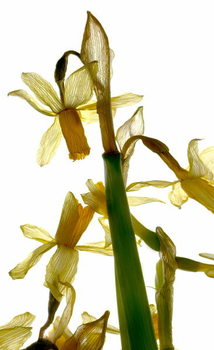 Artă imprimată Daffodil Stand