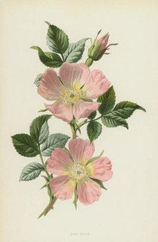 Obrazová reprodukce Dog-Rose