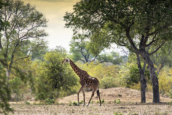 Kunstfotografi Giraffe in the Savanna