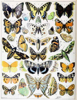 Reproduction de Tableau Illustration of  Butterflies and Moths c.1923
