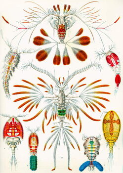 Obrazová reprodukce Illustration of  Copepods,  c.1909