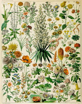 Obrazová reprodukce Illustration of flowering plants c.1923
