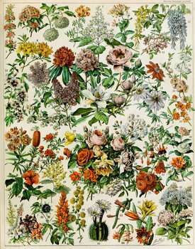 Reproduction de Tableau Illustration of  flowering plants  c.1923