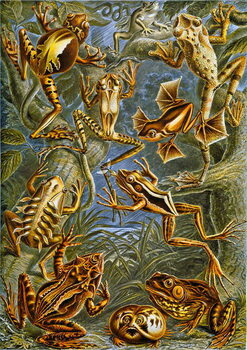 Illustration of  Frogs and Toads c.1909 Reproduction de Tableau