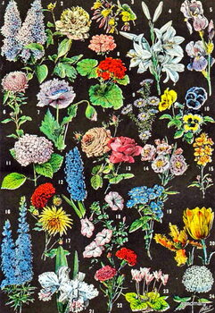 Obrazová reprodukce Illustration of garden flowers c.1923