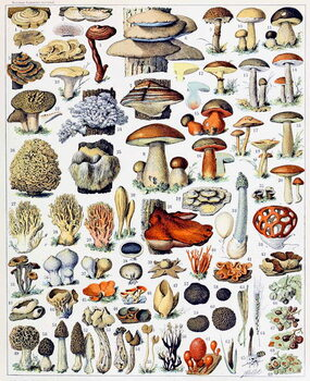 Obrazová reprodukce Illustration of  Mushrooms  c.1923