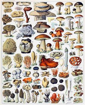 Reproducción de arte Illustration of  Mushrooms  c.1923