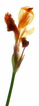 Artă imprimată Iris Yellow, 2011,