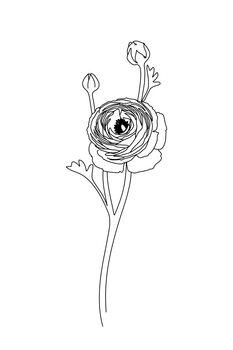 Ilustrace Ranunculus line art