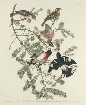 Reproducción de arte  Rose-breasted Grosbeak, 1832