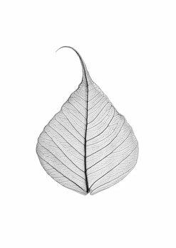 Kunstfotografi Skeleton leaf