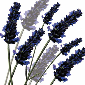 Obrazová reprodukce Sweet Lavender, 2004