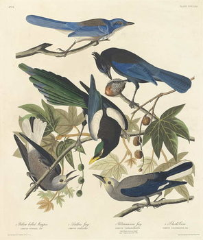 Yellow-billed Magpie, Stellers Jay, Ultramarine Jay and Clark's Crow, 1837 Kunstdruck