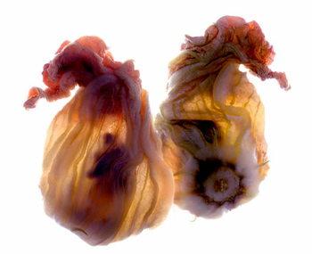 Kunsttryk Zucchini Blossom Duo, 2009,