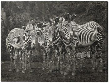 Canvastavla Marina Cano - Zebras