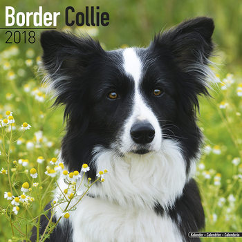 Border Collie Calendar 2018