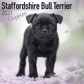 Staffordshire Bull Terr Calendar 2021