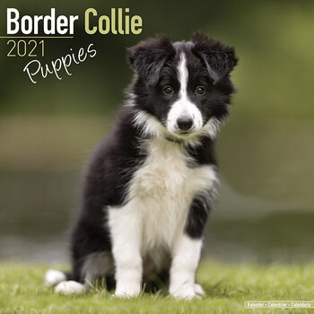 Calendar 2021 Border Collie
