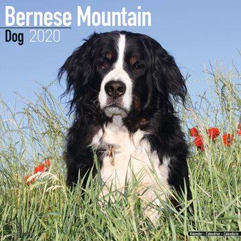 Bernese Mountain Dog Calendrier 2020