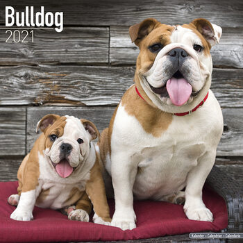Bulldog Calendrier 2021