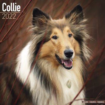 Collie Calendrier 2022