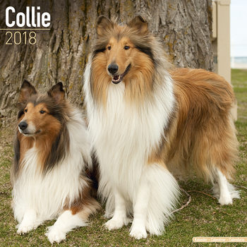 Collie Calendrier 2018