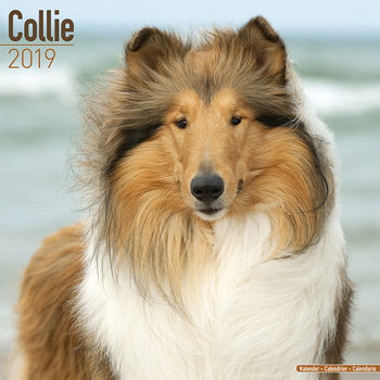 Collie Calendrier 2019