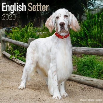English Setter Calendrier 2020