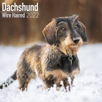 Wirehaired Dachshund Calendrier 2022