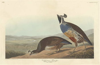Californian Partridge, 1838 Festmény reprodukció