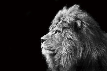 Cuadro en vidrio Lion - Black and White
