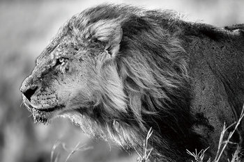 Cuadro en vidrio Lion - Black and White Lion