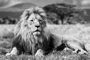 Cuadro en vidrio Lion - Lying b&w