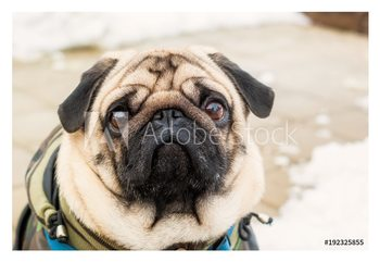 Dog breed pug. Portrait of a pet Poster înrămat