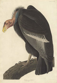 Konsttryck Californian Vulture, 1838