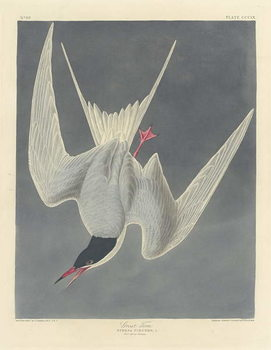 Konsttryck Great Tern, 1836