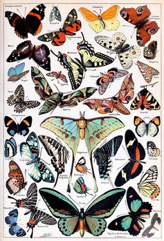 Konsttryck Illustration of  Butterflies and Moths c.1923